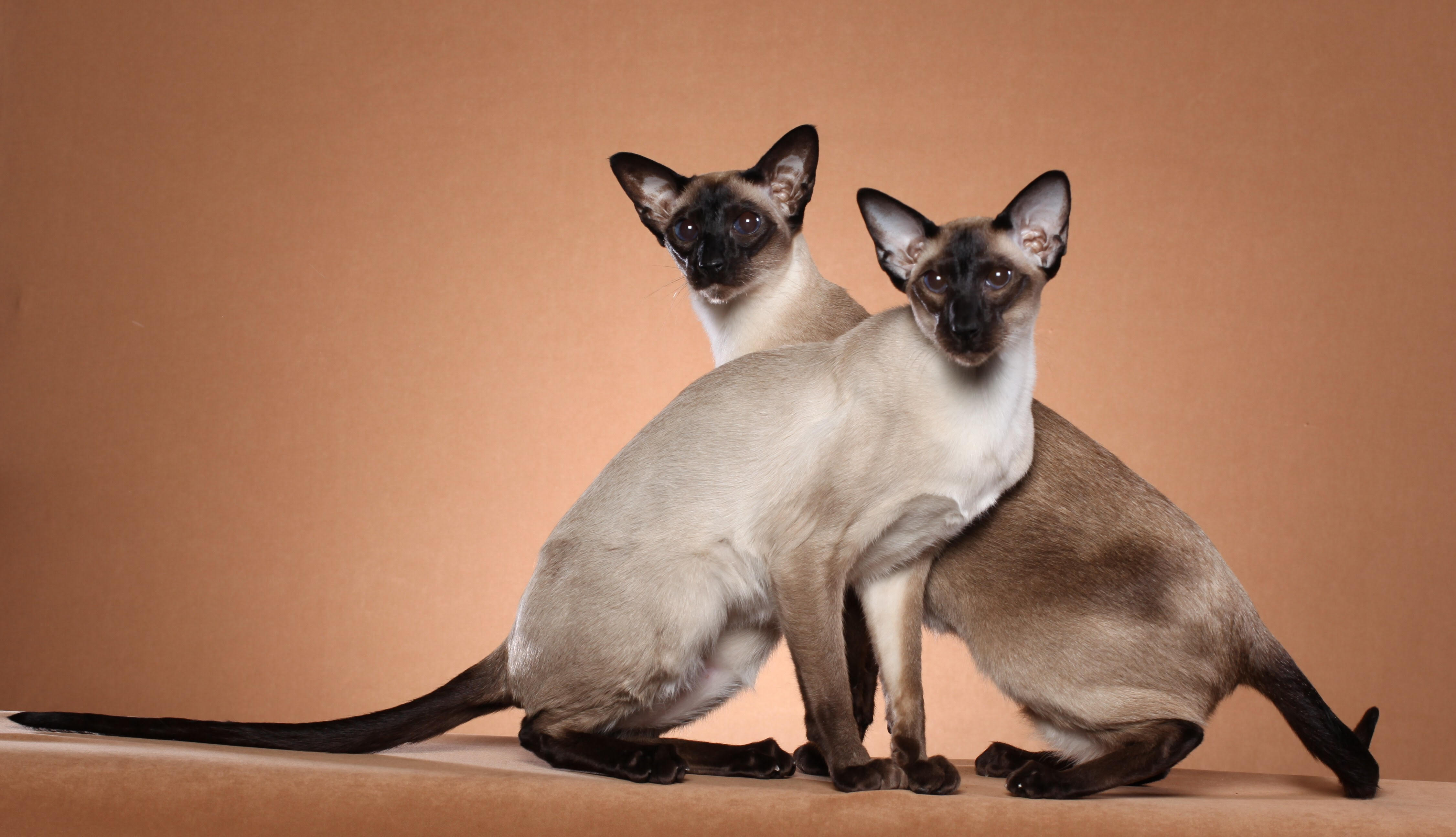 siamese cat breed thirsty cat fountains